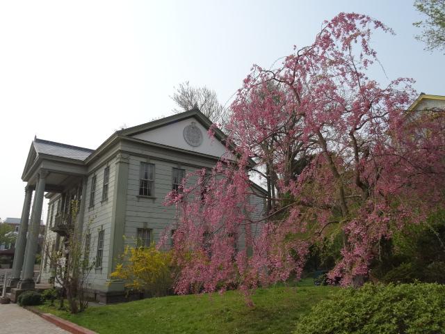旧函館区公会堂しだれ桜