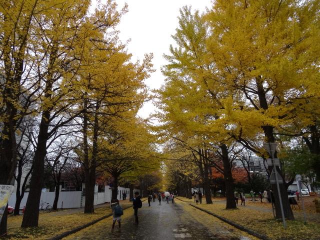 北海道大学のイチョウ